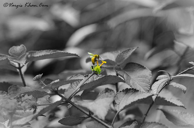 a-busy-bee-vargis-khan-photography