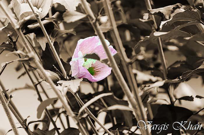 flowers-photography-vargis-khan-1