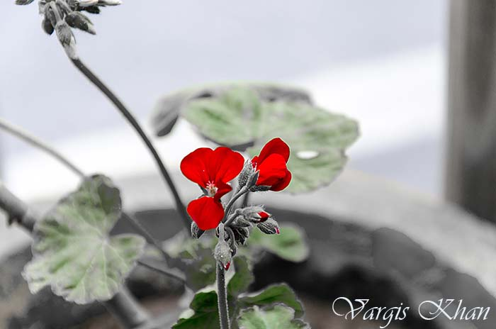 flowers-photography-vargis-khan-3