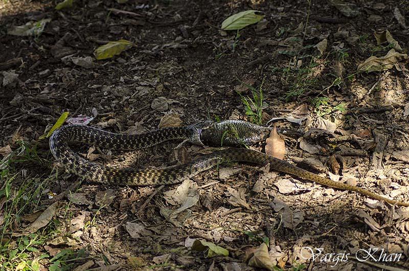 snake-catching-fish-in-karna-lake-7