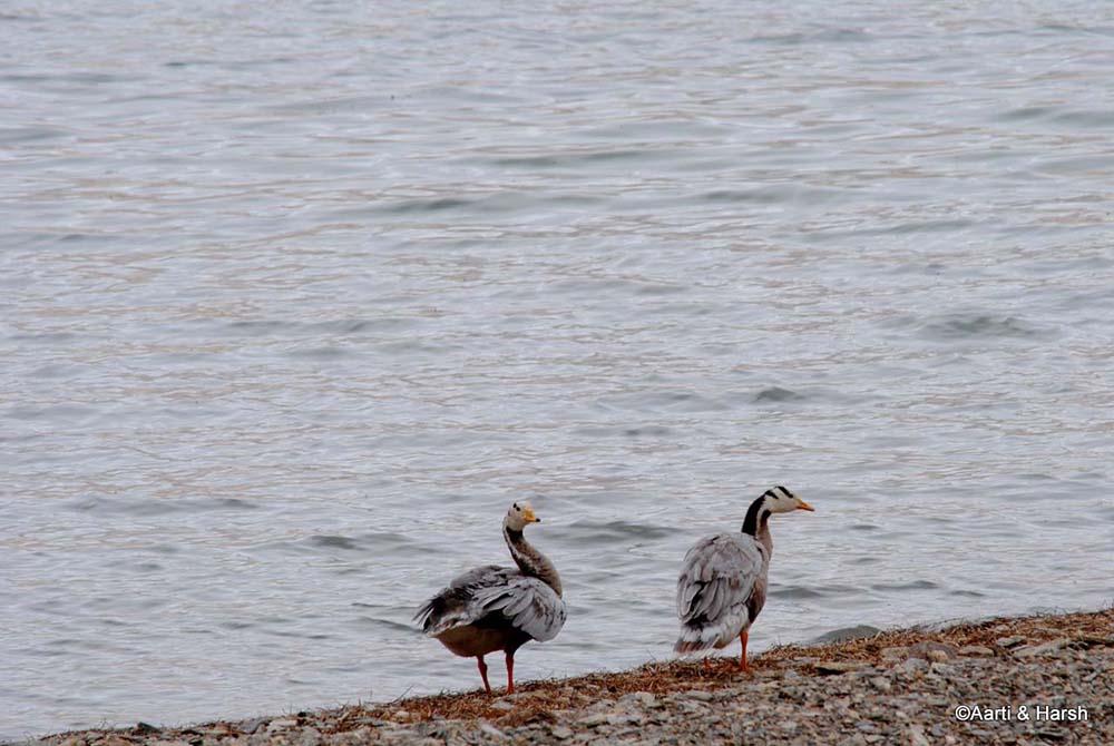 brahmi ducks
