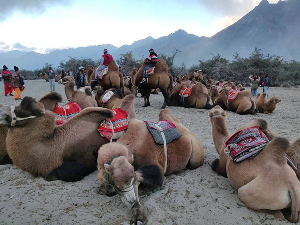 double hump camels of Nubra Valley