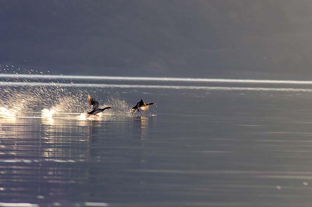 pangong lake birds