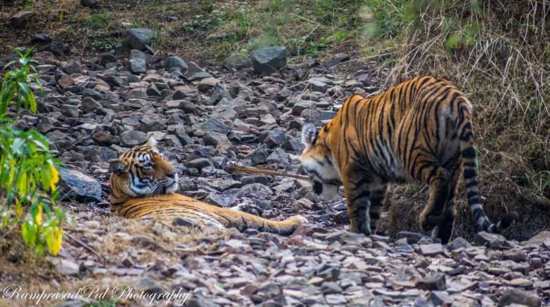 Tiger Sighting in Ranthambore Tiger Reserve