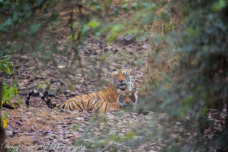Tiger Sighting in Ranthambore Tiger Reserve
