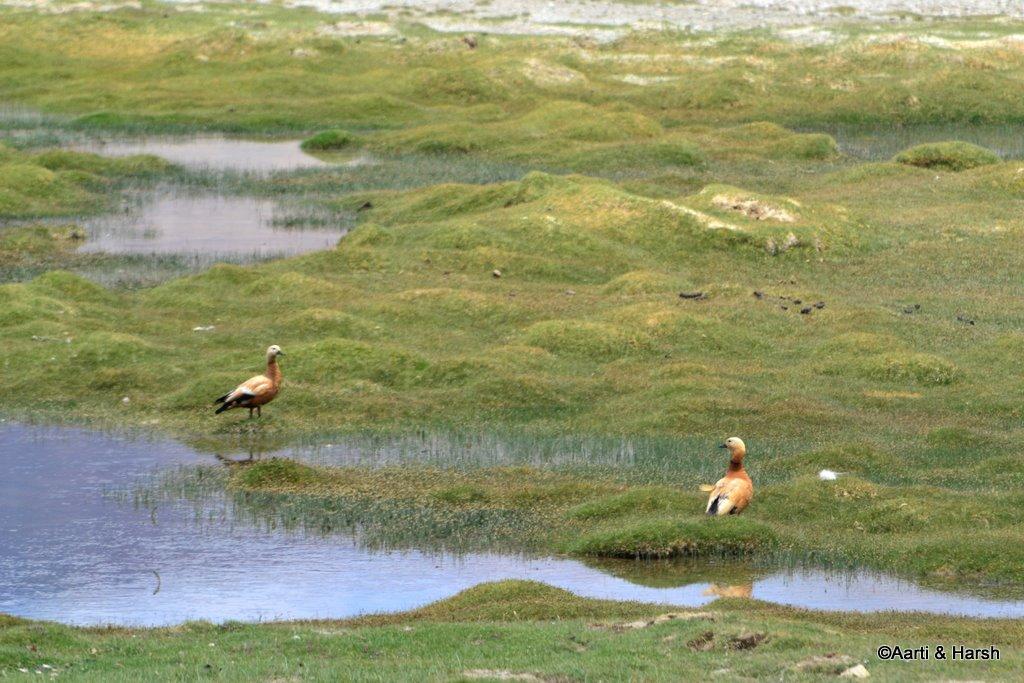 Brahmini ducks