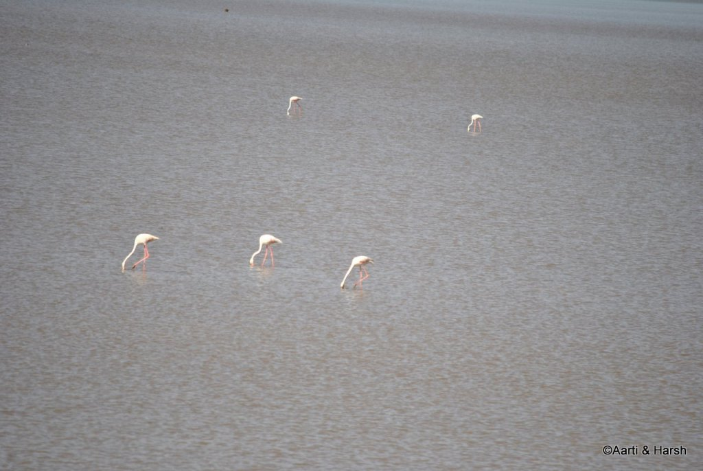 Flamingos in the lake