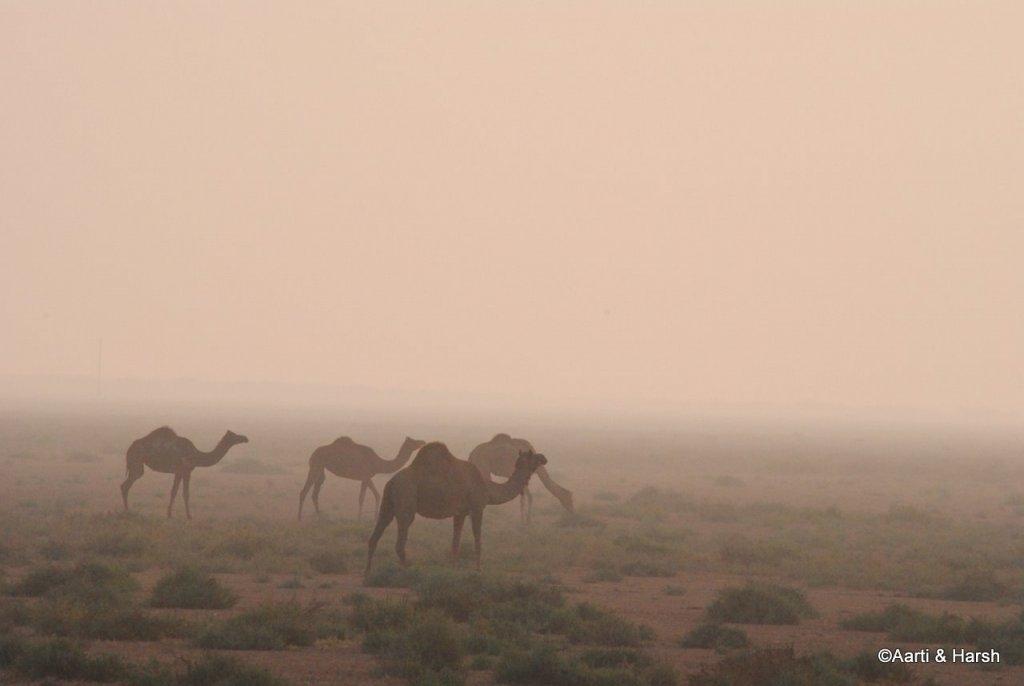 herd of wild camels