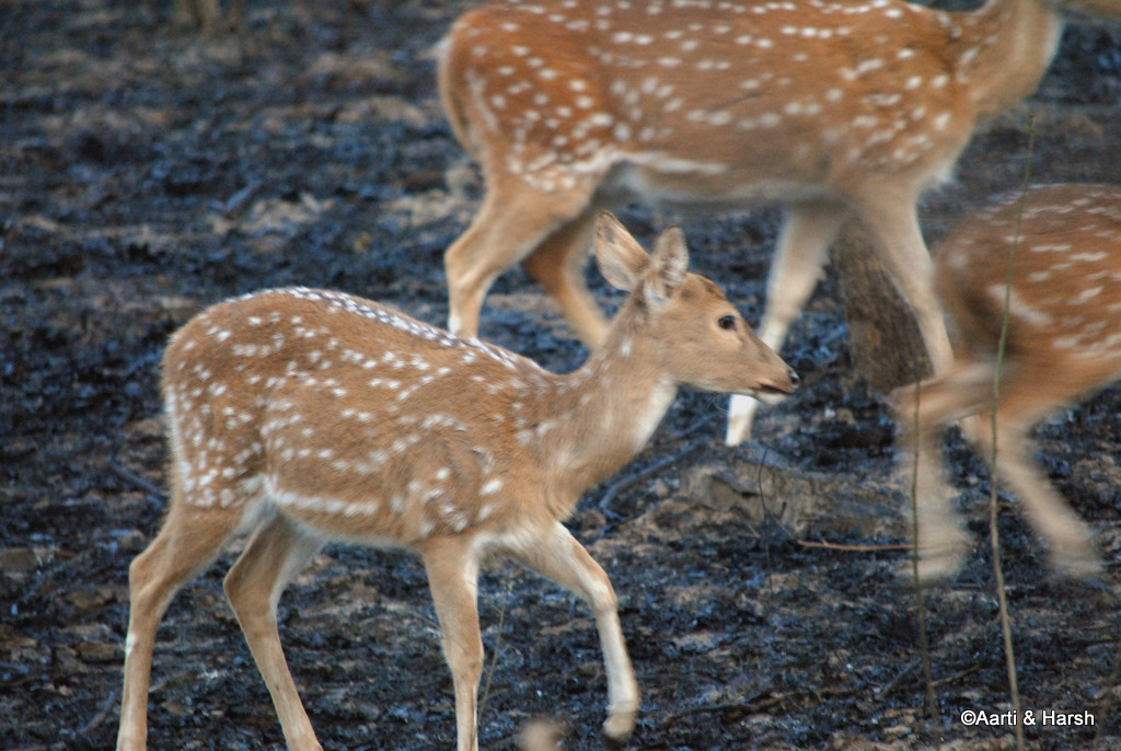 deer in jim corbett park