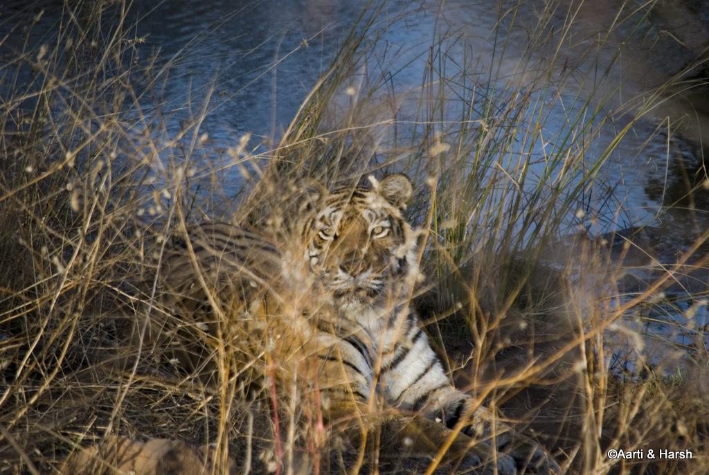 Macchli tigress
