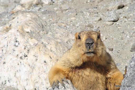 The enterprising marmot