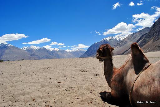 Bactrian Camel at Nubra