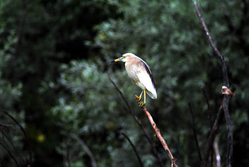 Pond Heron on the Dal​