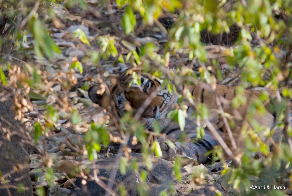 tiger sighting