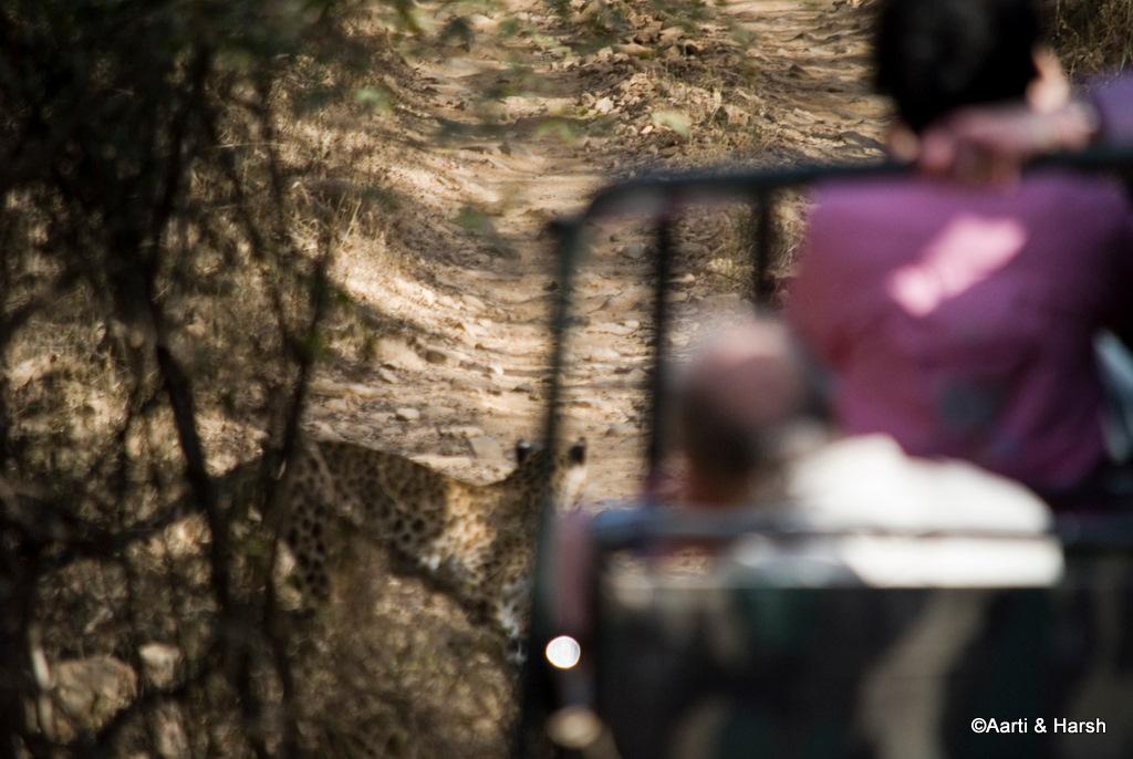 leopard in ranthambore