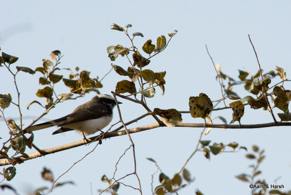 White chested fantail flycatcher