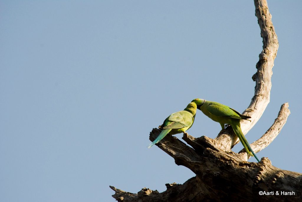parrots in ranthambore national park