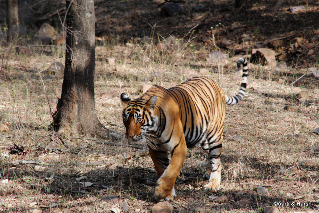 T39 Tiger sighting in ranthambore national park
