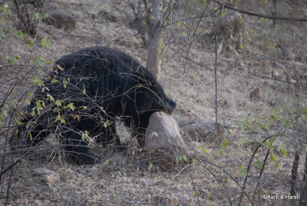 A sloth bear in Ranthambore