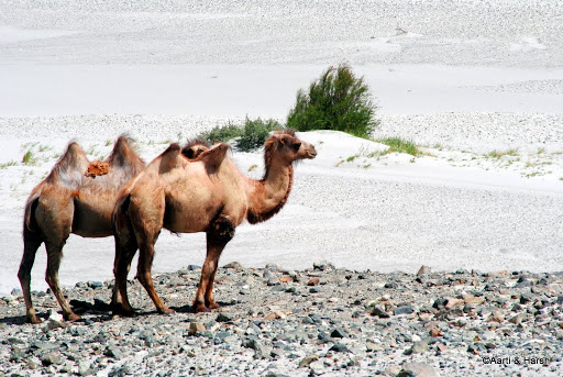 Bactrian Camels​