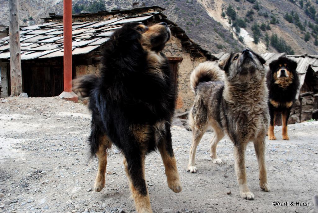 bhutia dogs