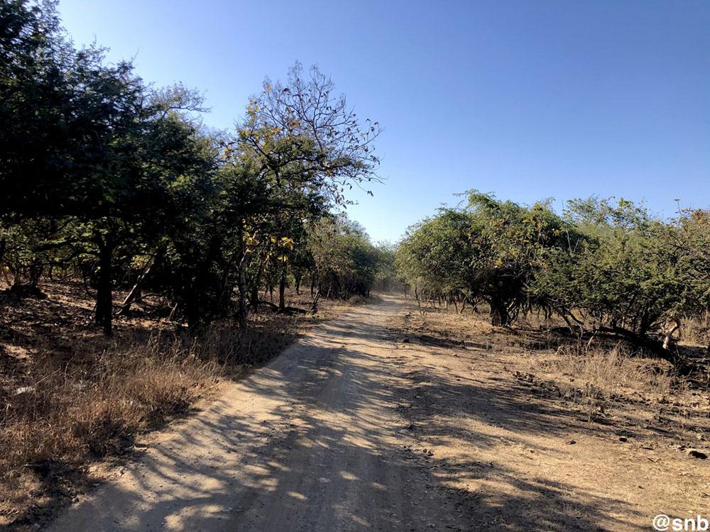 Lion Safari at Gir Forest